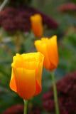 Three yellow tulips stock photography