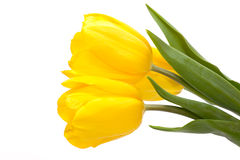 Three yellow tulips Royalty Free Stock Photography