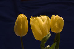 Three yellow tulips on a black background Royalty Free Stock Photography