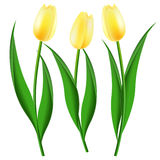 Three yellow tulips. On a white background Royalty Free Stock Images