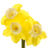 Three yellow and white jonquil flowers Stock Photos
