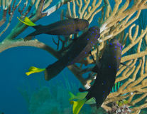 Three Yellowtail Damselfish Stock Photos