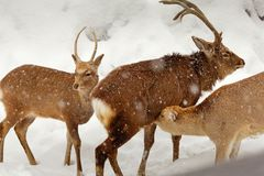 Yezo sika deer breastfeeding baby in snowy scene. Three Yezo sika deer stand on snow and one mom deer breastfeeding her baby stock images