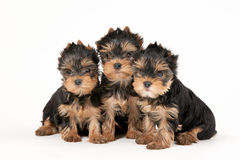 Three yorkie puppies. On white background Royalty Free Stock Image