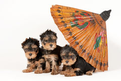 Three yorkie puppies with umbrella. On white background Royalty Free Stock Images