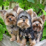 Three Yorkies. Three happy Yorkshire Terriers enjoying the great outdoors stock image