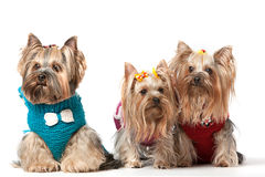 Three Yorkshire. Terrier with clothes sitting and looking in white background Stock Images