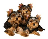 Three yorkshire puppies. Isolated on the white background Stock Images