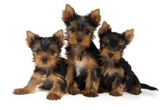 Three yorkshire puppies. Three lovely yorkshire puppies isolated on white Royalty Free Stock Photography