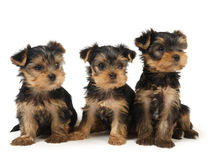Three yorkshire puppies Royalty Free Stock Image