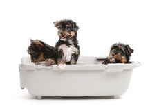 Three yorkshire terrier puppies Stock Photo