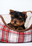Three Yorkshire terrier puppy lying in the couch in the red cell. White background Stock Photography