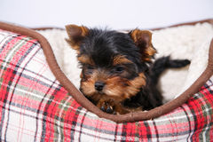 Three Yorkshire terrier puppy lying in the couch in the red cell. White background Royalty Free Stock Image