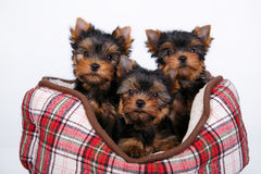 Three Yorkshire terrier puppy lying in the couch in the red cell. White background Royalty Free Stock Photography