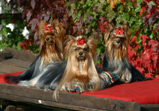 Three Yorkshire terriers dogs. Three glamur Yorkshire terriers dogs Royalty Free Stock Images