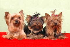 Three yorkshire terriers lying Royalty Free Stock Images