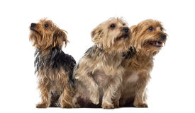 Three Yorkshire Terriers sitting and looking up Royalty Free Stock Images