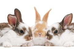Three young baby rabbit isolated Stock Image
