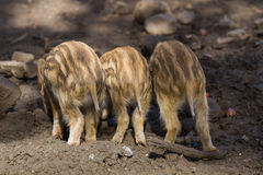 Three young boar pigs from behind Stock Photography