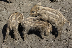 Three Young boars playing Royalty Free Stock Image