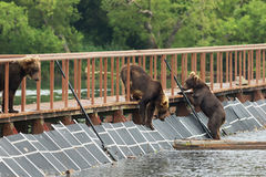 Three young brown bear on fence to account for fish. Kurile Lake. Royalty Free Stock Photography
