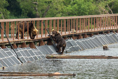 Three young brown bear on fence to account for fish. Kurile Lake. Royalty Free Stock Photo