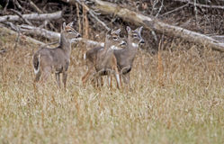 Three young bucks at attention. Stock Images