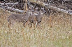 Three young bucks at attention. Royalty Free Stock Images