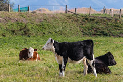 Three young calves resting in paddock Royalty Free Stock Photography