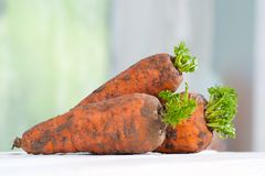 Three young carrots with a tops on a wooden table close-up. Three young carrots with a tops on wooden table close-up Stock Image