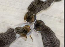 Three young cats are eating. Top view of three young cats are eating Royalty Free Stock Photography
