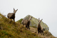 Three young chamois in fog in Tatra mountains Stock Images