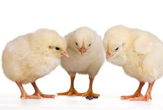 Three Young Chicks Royalty Free Stock Photo