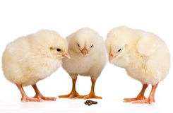 Three Young Chicks Stock Image