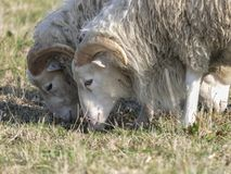 Three young clots or ram pasturing on the grass field.  stock images