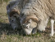 Three young clots or ram pasturing on the grass field.  royalty free stock photography