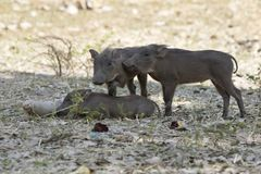 Three young COMMON WARTHOG that rest on a hot day under the shad Royalty Free Stock Image