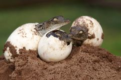 Three Young crocs hatching from eggs Stock Photos