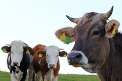 Three young dairy cows with horns on a pasture stock photo