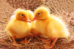 Three young ducks Royalty Free Stock Photography