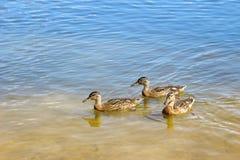 Three young ducks Stock Image