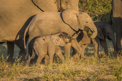 Three young elephants between adults at dusk Stock Photo