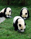 Three young giant panda Royalty Free Stock Images