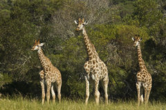 Three young Giraffe Stock Photography