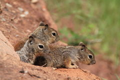 Three young grey squirrels. Side view of three young grey squirrels looking out of hole or burrow stock photos