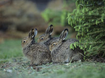 Three young hares sitting by bush Stock Images