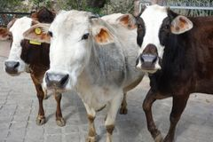 Three Cute Begging Indian Cows. Three young heifer cows look lovingly at the camera in Rishikesh in Northern India. Grey and white and brown spots hair fur and stock photography