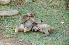 Three young japanese macaques playing Royalty Free Stock Image