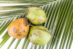 Three young and juicy organic green coconut on palm leaf. Overhead view of three young and juicy organic green coconut on palm leaf with white background Royalty Free Stock Photography