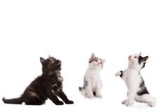 Three young kitten looking up Royalty Free Stock Photography